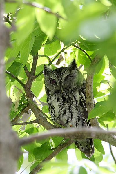 Eastern Screech Owl @ Magee Marsh Wildlife Area - May 2009