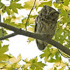 Eastern Screech Owl @ Magee Marsh - May 2012