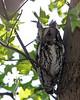 Screech Owl @ Magee Marsh WA, May 2011