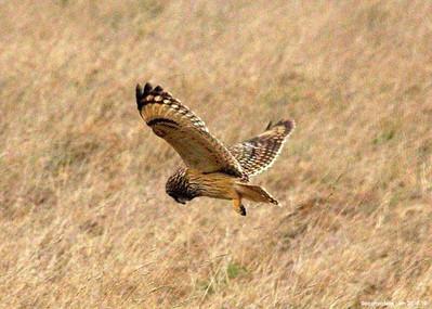 Short Eared Owl 001