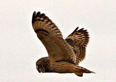 Short Eared Owl 002 (February 2015)