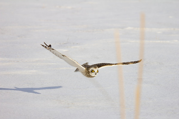 Short-Eared Owl in pursuit of a mouse