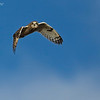 Out of the great blue yonder a Short-Eared Owl on the hunt.