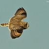 Short-Eared Owl in flight.