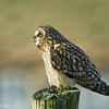 Short-Eared Owl at rest.