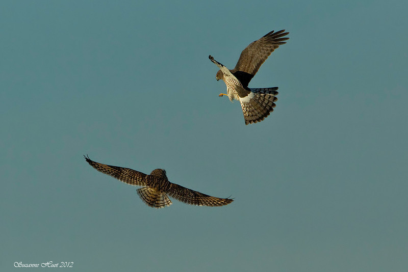 Northern Harrier and Short-Eared Owl having in mid air combat over territory.
