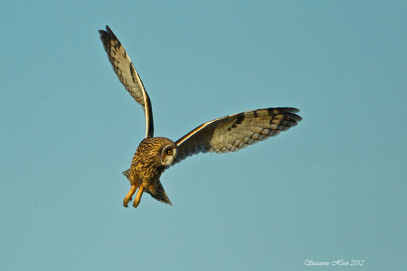 Short-Eared Owl in combat mode.