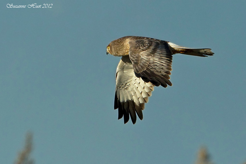 Male Northern Harrier hunting.