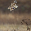 Short-Eared Owl flying over his habitat.Great place for finding voles and mice in the grass below.
