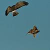 Ariel combat between Short -Eared Owl and Northern Harrier.