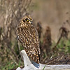 Alert Short Eared Owl