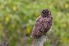 Short-eared Owl roosting - Isla Floreana, Galapagos, Ecuador