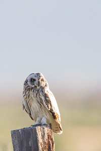 Short-eared Owl - Sierra Valley, CA, USA