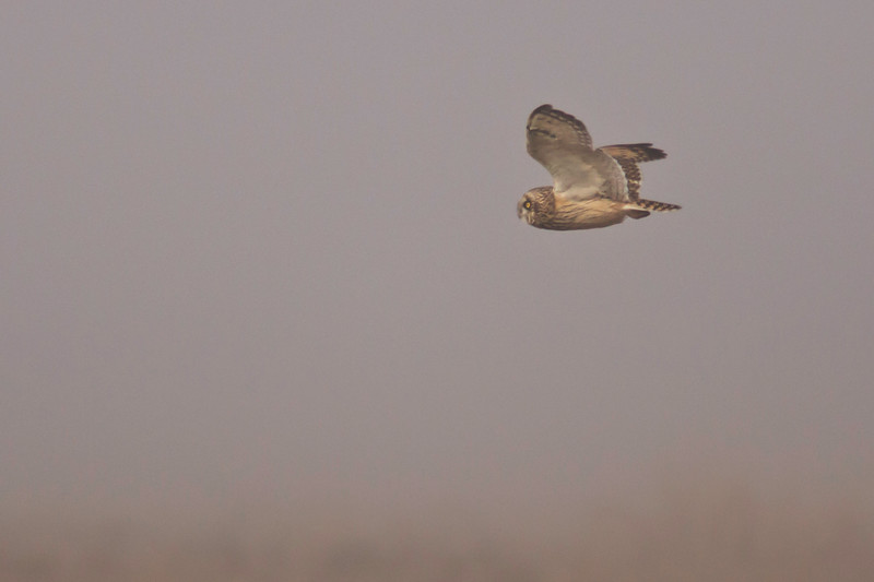 Short-eared Owl (Asio flammeus) on a foggy day