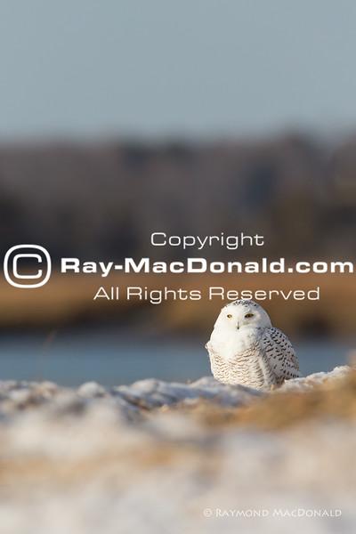 IMG_1348: Snowy Owl surveys shoreline.