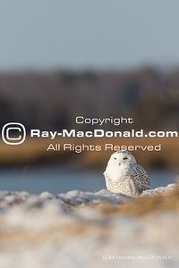 IMG_1348: Snowy Owl surveys shoreline.