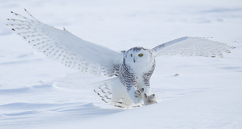 Snowy Owl Landing on Snow