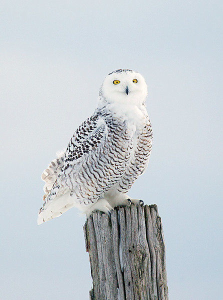 Snowy Owl Young Male Perched on Fence Post