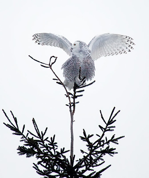 Perched on Pine