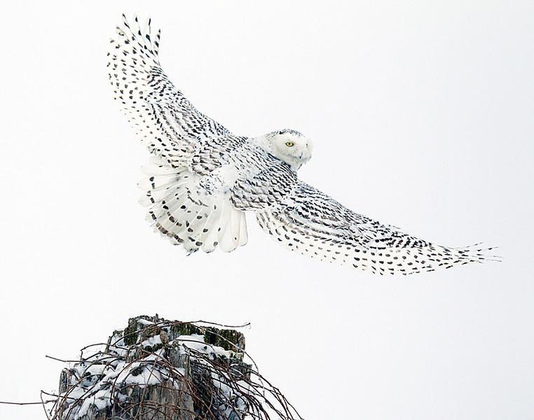 Snowy Owl Look Back