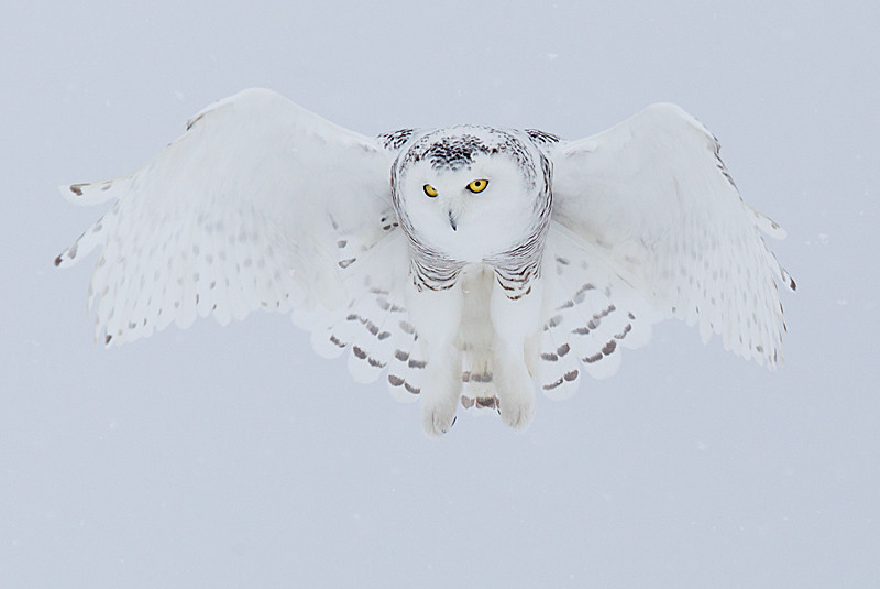 Snowy Owl Hovering 7