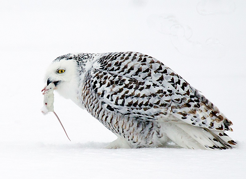 Snowy Owl Eating Mouse