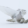 Snowy Owl about to Strike 3