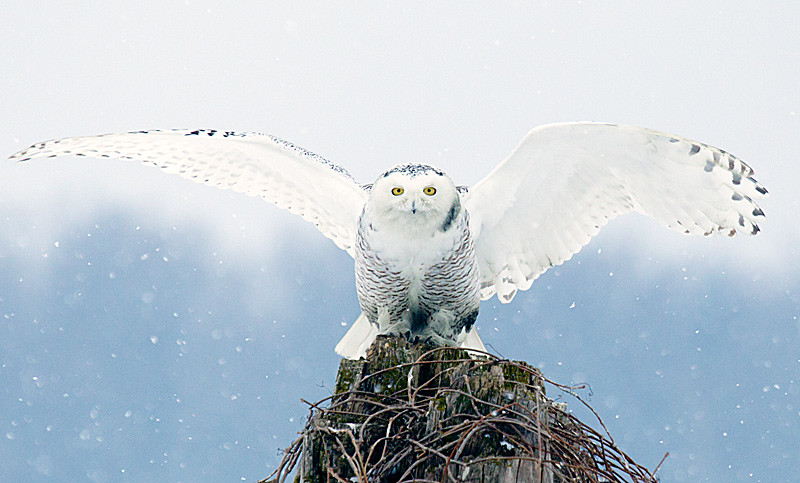 Snowy Owl Perched Wings Extended Snowing
