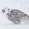 Snowy Owl Swallowing Mouse