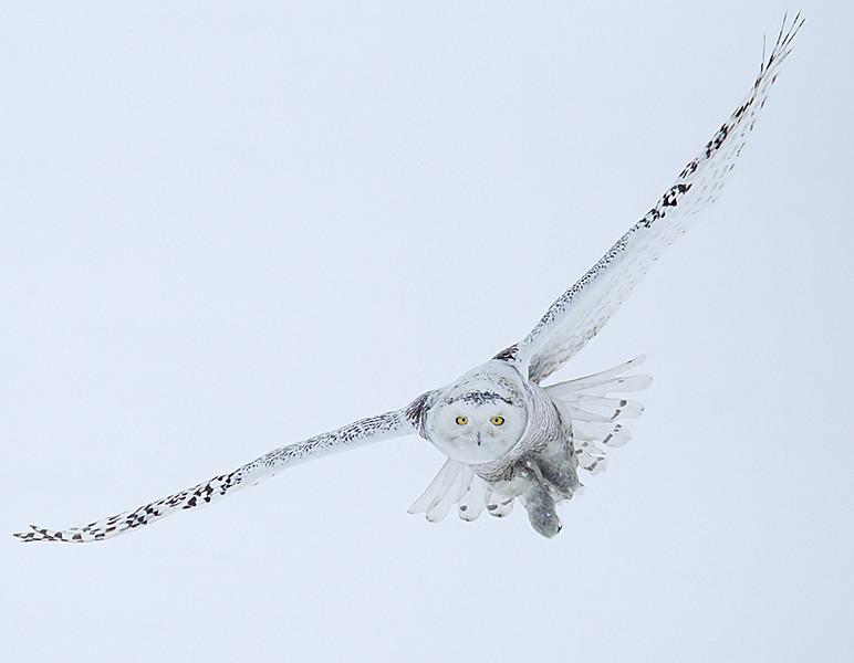 Snowy Owl Flying in Snow 5