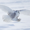 Snowy Owl Talons out for Kill