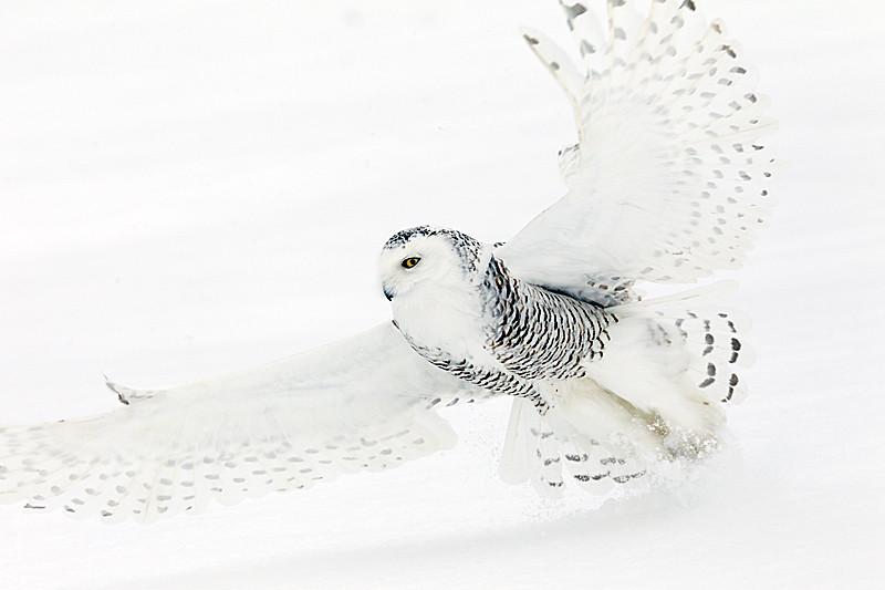 Snowy Owl Close up Flight