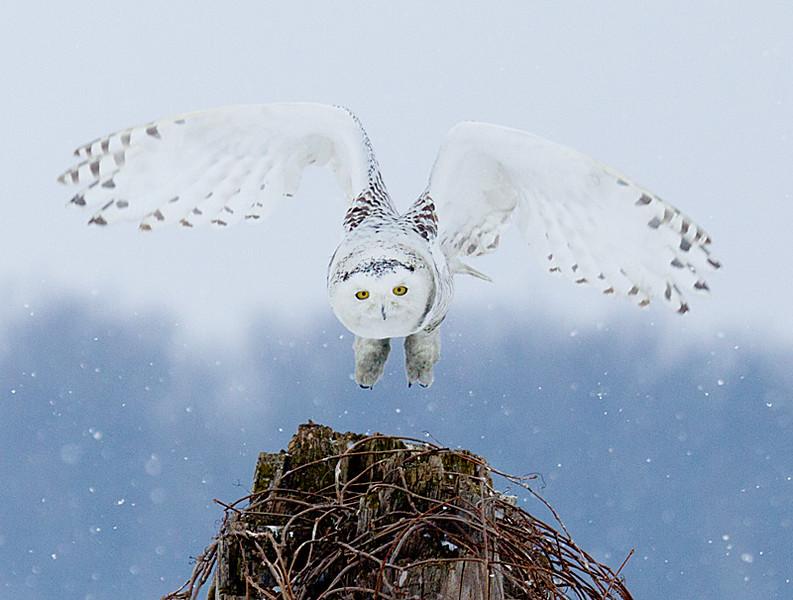 Snowy Owl Takeoff 5