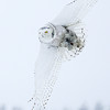 Snowy Owl Flying in Snow 2