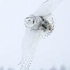 Snowy Owl Flying in Snow 2