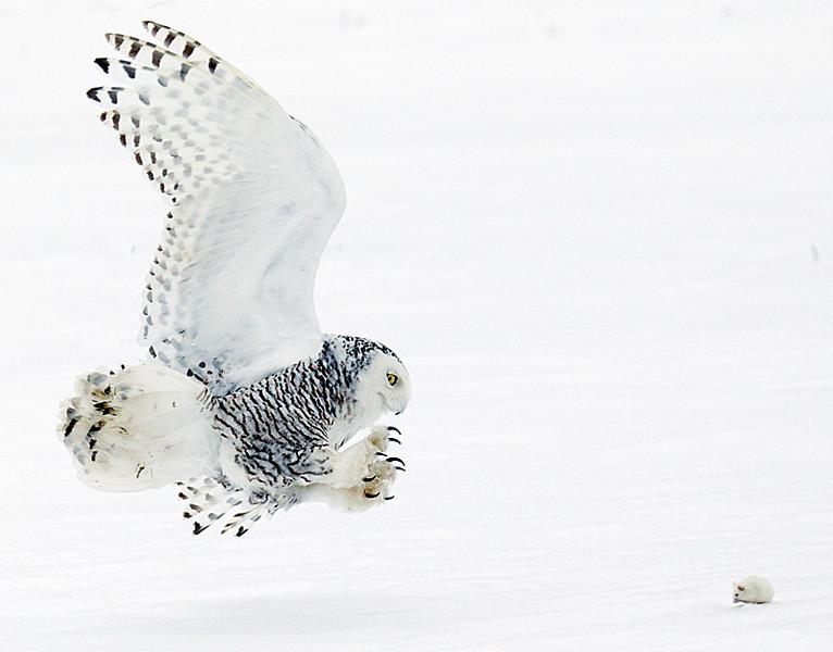 Snowy Owl about to Strike Prey 2
