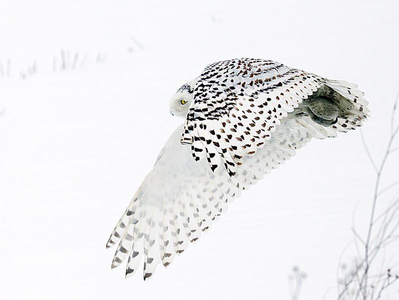Snowy Owl Flying Across Snow Covered Farm Field 3