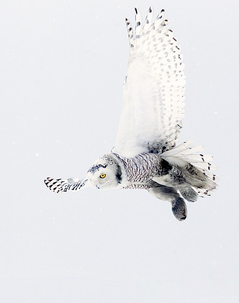 Snowy Owl Hovering 5