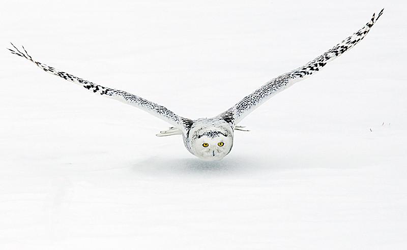 Snowy Owl on Final Approach