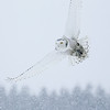 Snowy Owl Flying in Snow