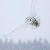 Snowy Owl Flying in Snow