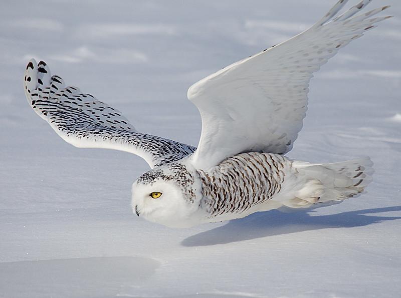 Snowy Owl Closeup Flight