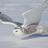 Snowy Owl Closeup Flight