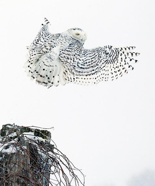 Snowy Owl Taking Off 3