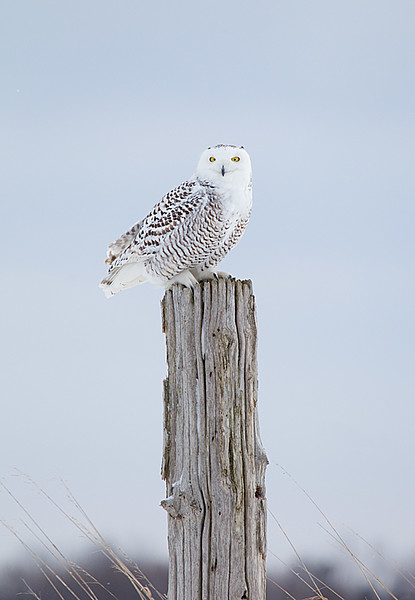 Snowy Owl Young Male Perched on Fence Post 2