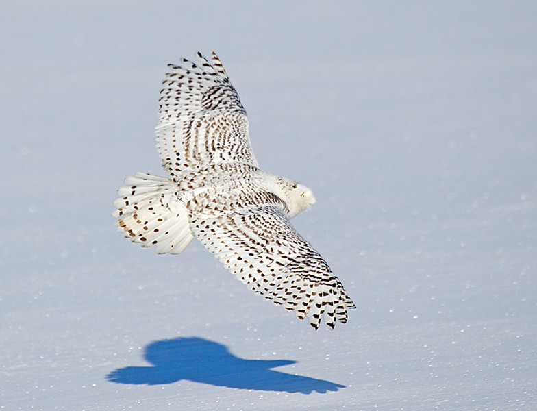 Snowy Owl Flying Close to Snow 2
