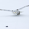 Snowy Owl about to Strike 4