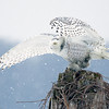 Snowy Owl Perched Snowing 2