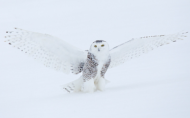Snowy Owl Standing in Snow Wings Extended