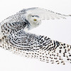 Snowy Owl Flying